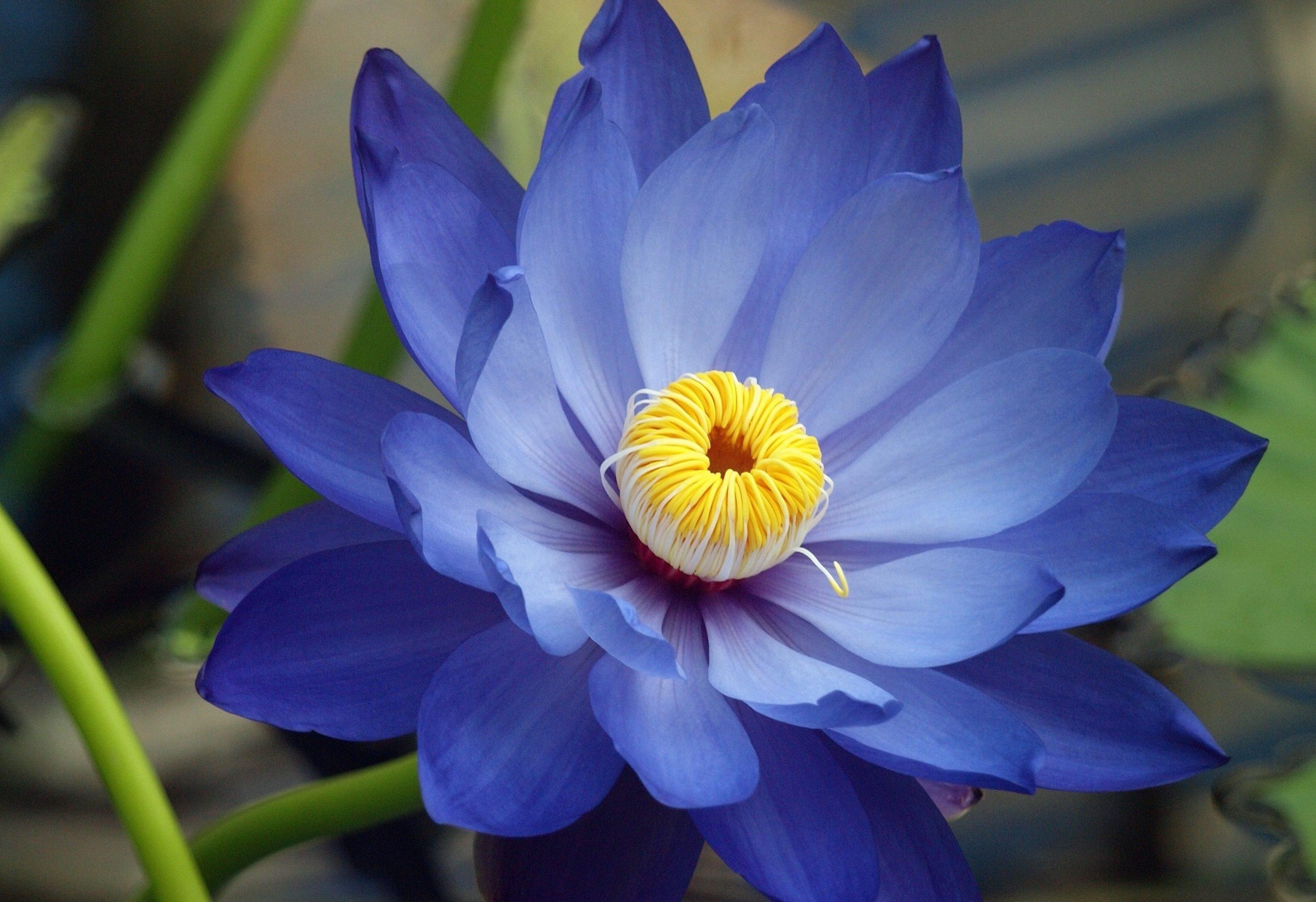 mavi lotus